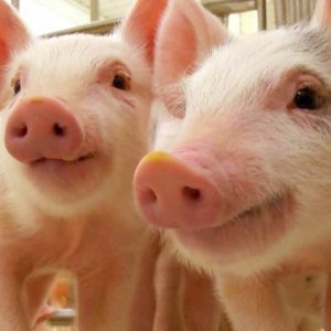 proveedor mexicano de materias primas para alimentos de ganado porcino