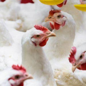 proveedor de granos para alimentar aves de engorda avicultura mexico