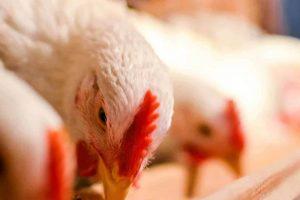 proveedor de granos y semillas para aves de engorda