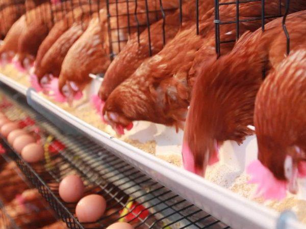 proveedor de granos y semillas para alimento de aves de postura en mexico