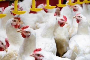 proveedor de materias primas para alimentos de avicultura en mexico