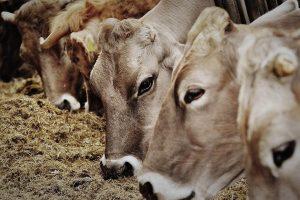 proveedor de materias primas para alimentacion de ganado de engorda en mexico