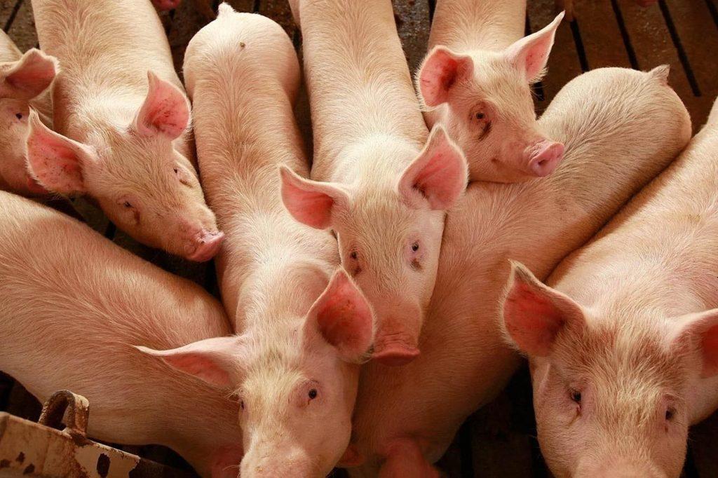 proveedor de materias primas alimentos porcicultura cria de cerdo